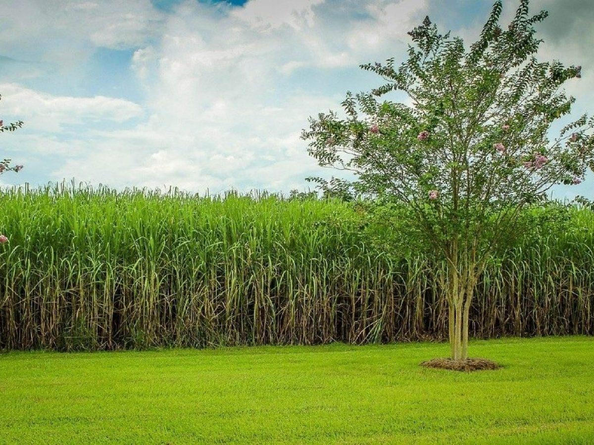 Embrapa implanta rastreamento de cana-de-açúcar em SP; milho e soja também têm interesse